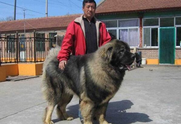 高加索犬vs我要综合评价,高加索犬完虐藏獒-自做爱藏獒包表情图片
