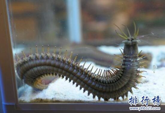 世界上最恶心的动物:蛀船虫,长达3米的巨型毛虫