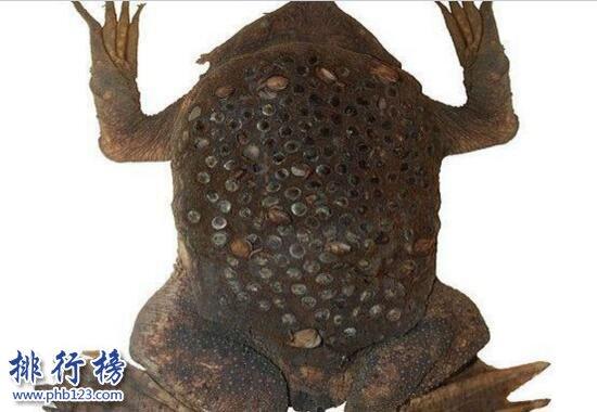 世界上最令人恶心的动物:琵琶蟾蜍,背部长满小孔(图片)