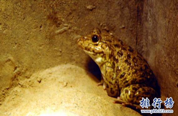 世界上被吃到濒危的青蛙,虎皮蛙(国家二级重点保护动物)
