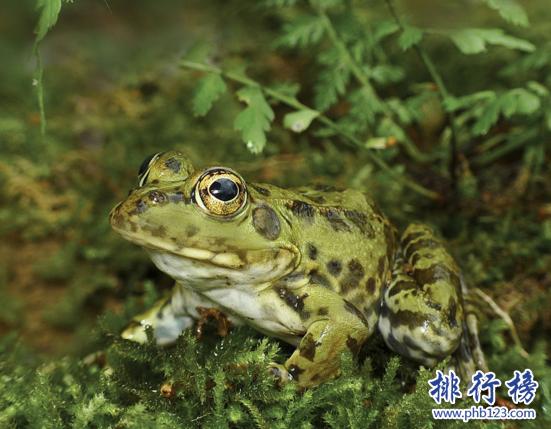 世界上禁止捕捉的青蛙,黑斑侧褶蛙(对人类有益的动物)