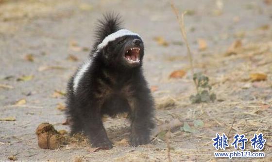 世界上最无畏的动物,平头哥蜜獾(见谁咬谁)