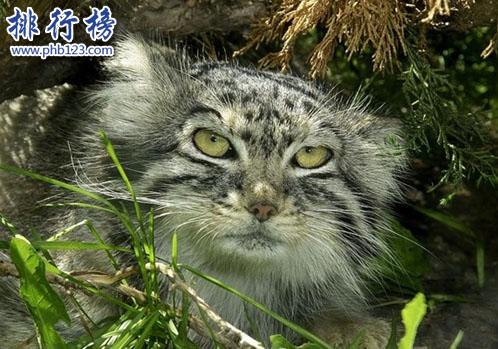 世界上最凶猛的猫科动物,兔狲凶残到什么程度?